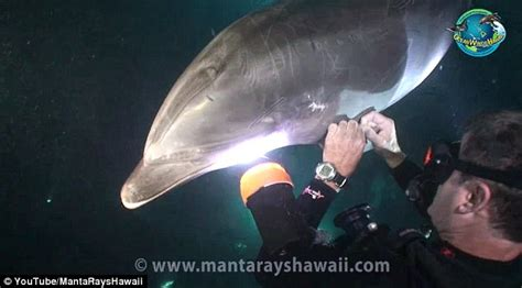 stricken dolphin  asked hawaii diver   moment