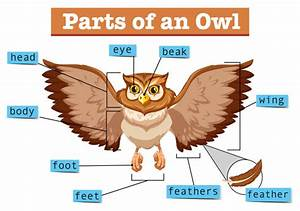 Diagram Showing Different Part Of Owl Vector