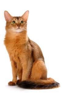 somali cats somali cat blue ruddy breed info personality