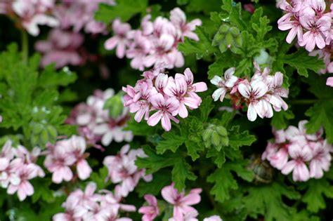 fragrant geranium file pelargonium graveolens 2 jpg wikipedia