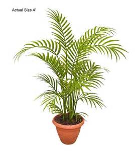 areca palm tree dypsis lutescens