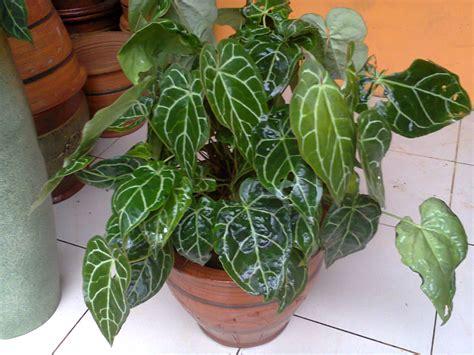 rental tanaman berdaun lebar anthurium kuping gajah