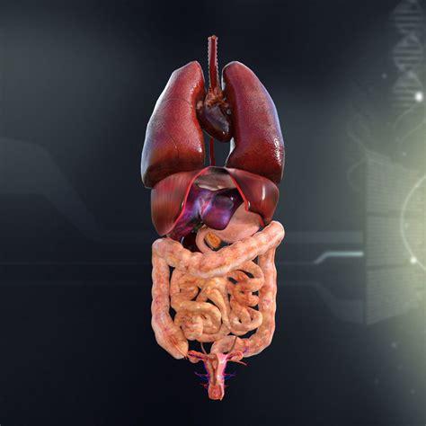 human female internal organs anatomy  cgtrader
