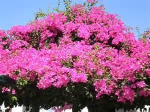 Bougainvillea Blüht Nicht : die bougainvillea gedeihen pr chtig die gartenanf ngerin ~ Lizthompson.info Haus und Dekorationen