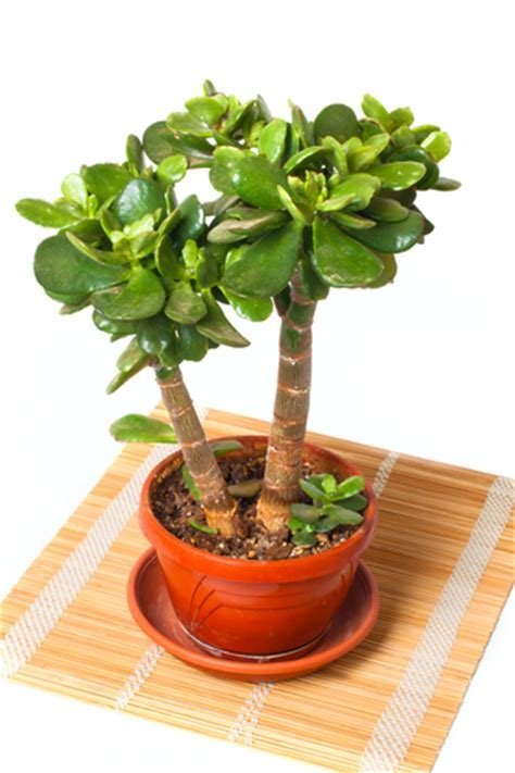 Hometalk   Different Types of Indoor Bonsai Trees
