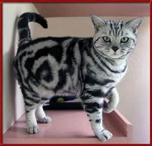Bengal Cat Facts | Bengal Cat World