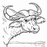 Buffalo Coloring Pages Water Printable Cape Momjunction Easy Drawings 230px 27kb sketch template