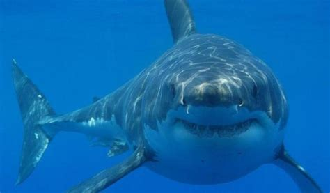 Great White Shark Shark Week