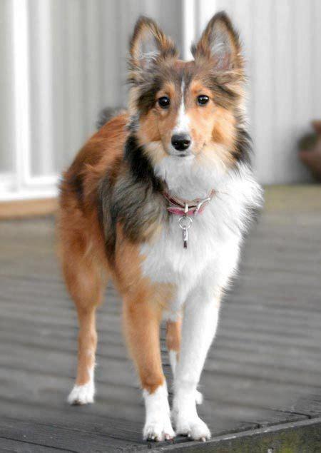 cute dogs shetland sheep dog
