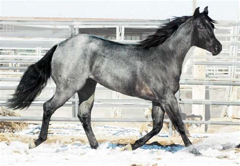 roan stallion quarter homozygous horse horses pony stud stallions breed hawke