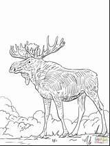 Coloring Pages Elk Moose Deer Printable Head Drawing Adult Pencil Stencil Books Drawings Sketch Bear Getdrawings Quilt Animals Longhorn Hunting sketch template