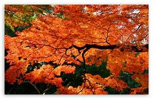 Japanese Maple Wallpaper - WallpaperSafari