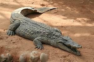 Crocodile Anatomy - Crocodile Facts and Information