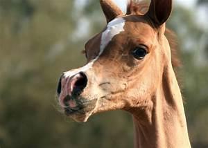Authentic Arabian Type :: Arabian Horses, Stallions, Farms ...