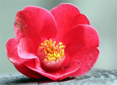 japanese names flower image gallery japanese flower names