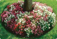 flower bed border ideas alyssum begonia  ornamental grass great color combination