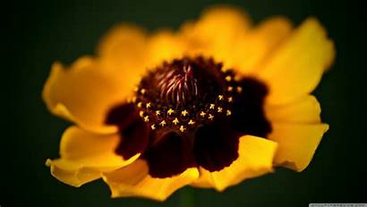 Golden Macro Flower Ultra Yellow Wallpapers Background