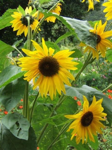 sunflower monets garden giverny