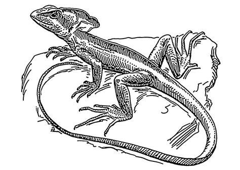 Hagedis Kleurplaat by Kleurplaat Hagedis Basilisk Afb 18908
