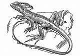 Coloring Lizard Basilisk Popular sketch template