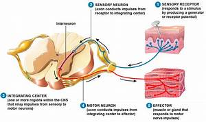 Human Physiology – Structure and Function of the Nervous ...