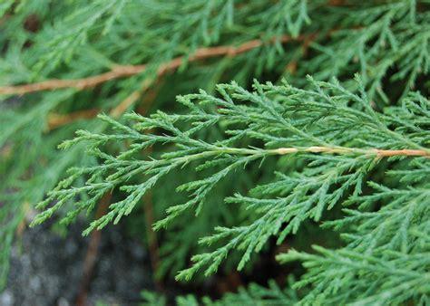tree foliage file russian arborvitae microbiota decussata leaves 2800px jpg wikipedia