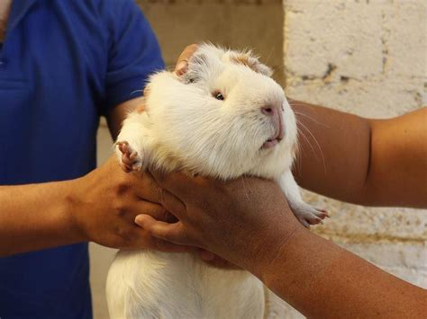 guinea pig ice cream  sale  ecuador yass tribune