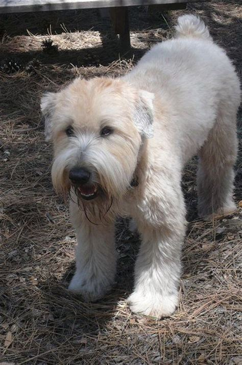 wheaten terriers do they shed 533 best images about soft coated wheaten terrier on