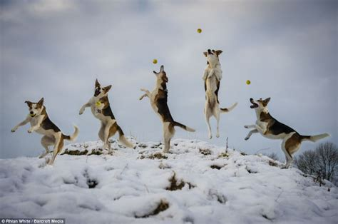Jumping For Joy Hilarious Freeze Frame P Ographs Capture Playful Dogs On Camera As They Leap