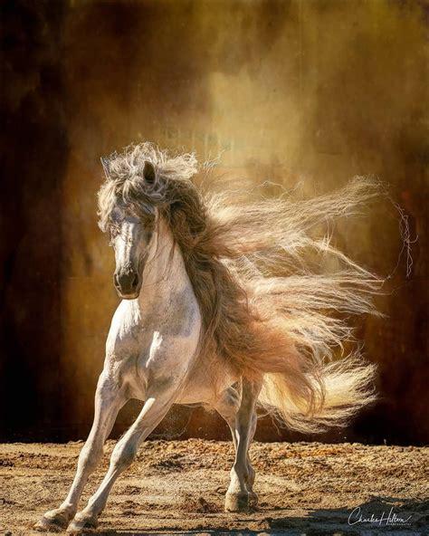 horse andalusian horses hilton charles draft