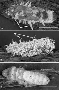 Light Micrographs Of Mycosed Glassy
