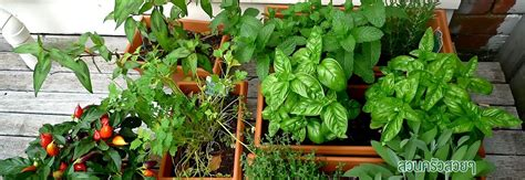 การปลูกผักพืชสวนครัว   ปลูกผัก, เกษตรกรรม, แมงลัก