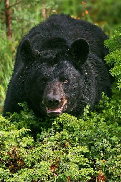 Bear Bears Utah Hunting Pursuit Almost Many