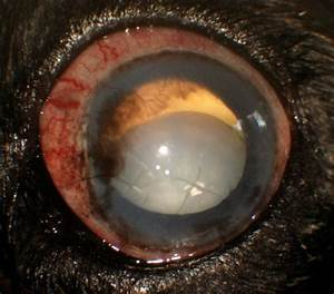 Asteroid Hyalosis Dog images