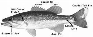 Game Fish Guide  U2013 Coosa Riverkeeper