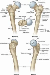 Hip Anatomy - Recon