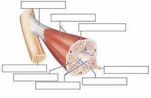 Structure Of Skeletal Muscle Diagram To Label