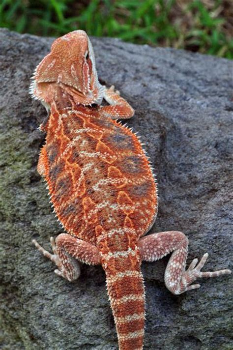 Red Bearded Dragon Lizard