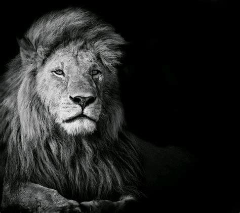 black  white lion wallpaper gallery