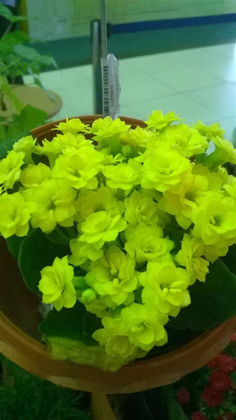 กุหลาบหิน (Kalanchoe Blossfeldiana) | ดอกไม้