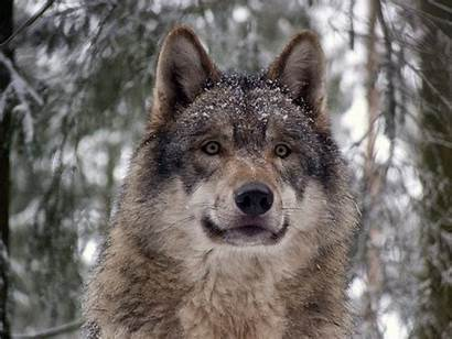 Wolf Eurasian Facts Species Powerful