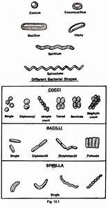 Morphology And Ultrastructure Of A Bacterial Cell  With Diagram