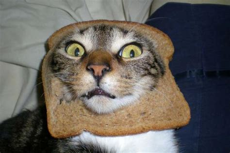 Cats At Pawfront Of Breading Meme Oddstuff Nz
