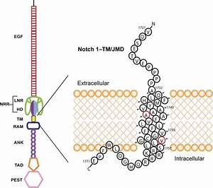 Structural And Biochemical Differences Between The Notch
