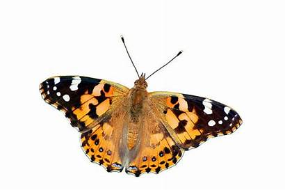 Lady Butterfly Painted Royalty Cardui Vanessa Isolated