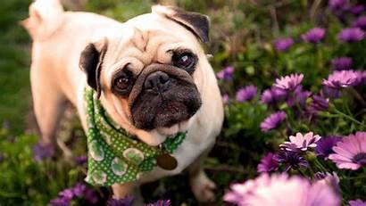 Pug Wallpapers Puppies Dog Dogs