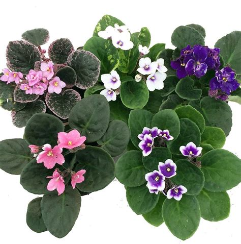 violet african pot plant walmart clay blooming growth better