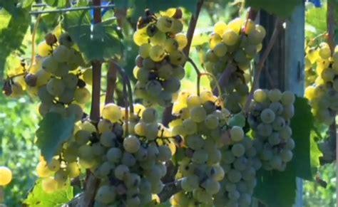 Sabilē jau ceturto gadu notiek vīnogu ražas talka / Raksts ...
