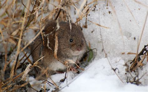 what is a vole suzanne britton nature photography meadow vole