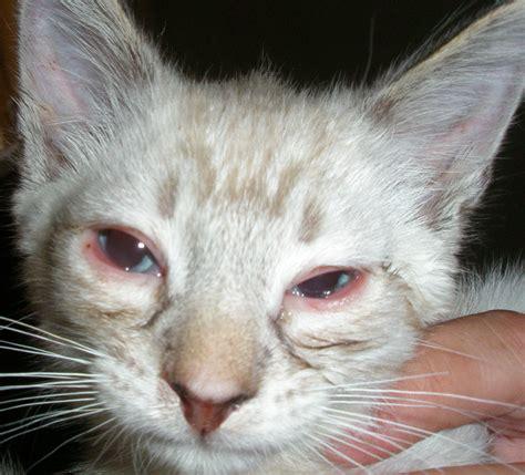 Persistent Conjunctivitis  Cat Forum  Cat Discussion Forums